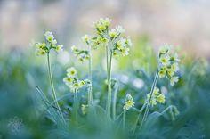 Primula by Jacky Parker on 500px