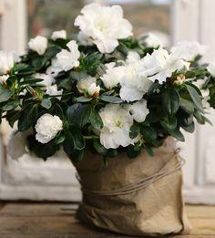 Azalea, hvit Christmas Carol, Decoration, Indoor Plants, Decorating, Dekorasyon, Deko, Dekoration, Decorations, Ornament