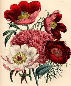 'The Ladies Flower-Garden' Mrs. Loudon. Undated.