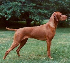 The Vizsla, a Hungarian pointing dog. We had one for 12 years - Ava. She was a great dog! Justine and Phil have one now, named Baya. Best Dog Breeds, Best Dogs, Weimaraner, Vizsla Dog, Redbone Coonhound, Hungarian Vizsla, Most Beautiful Dogs, Puppies And Kitties, Doggies