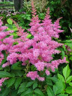 Astilbe Rhythm and Blues (Perennial Spirea) From the Music™️ Series, the summer performance of bright raspberry-pink plumes is pleasing to the eye and 'soul'. The large plumes and good heat tolerance deserve a standing ovation! Blooms early/mid summer. Attracts butterflies hummingbirds. Deer and rabbit resistant. Learn more at: https://www.bluestoneperennials.com/ASRB.html