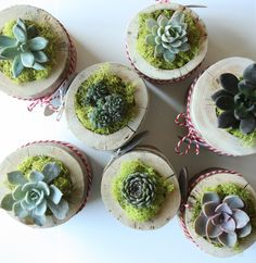 A personal favorite from my Etsy shop https://www.etsy.com/listing/259943726/succulents-live-succulents-succulent