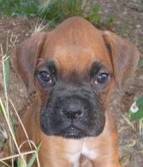 Boxer puppy - I love this cone head!