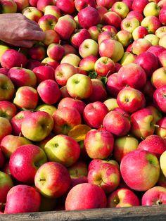 Belle récolte de #pommes Ariane ! www.pomme-ariane.com