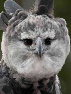Beautiful Birds, Animals Beautiful, Harpy Eagle, Bird Pictures, Birds Of Prey, Eagles, Drawing, Colors, Awesome