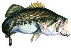 Black-bass  Ouverture de la pêche aux carnassiers en France