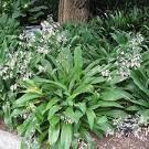 arthropodium - Google Search Google Search, Plants, Plant, Planets