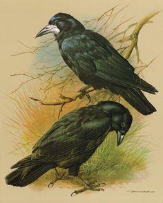 The Rook & The Carrion Crow Vintage 1965 Basil Ede Bird Print Picture BOTAV#01