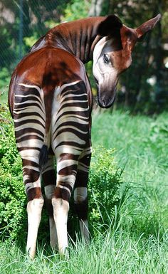 The Okari. Not a Zebra relative but a Giraffe relative | lives in high altitudes in the rain forests of Congo, in central Africa. It was only discovered by scientists in 1901. With white-and-black stripes on its legs, it was first thought to be some kind of a rainforest zebra or a forest-dwelling horse.