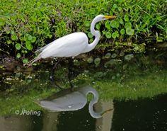 Snowy Egret, Hilton Head Island, SC