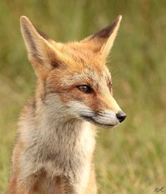 Beautiful fox by Ed kamstra on 500px