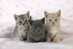 The British Shorthair kittens are a large, strong cat that ranges in size from medium to large. She's got a lot of muscle and a lot of boning on her. She has a rounded, substantial build. #BritishShorthair #ShorthairKittens #KittensNearMe Kittens Near Me, Cats And Kittens, Buy A Kitten, British Shorthair Kittens, Long Haired Cats, Fancy Cats, Grey Cats, Great Friends, Cute Baby Animals