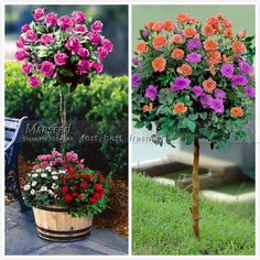 """50 Purple Roses Chinese bonsai tree seeds. Yard free shipping DIY beautiful flowers bloom - from 20 Skyscraper """"12 feet tall"""" Sunflower Seeds, Easy to grow, snack or Extract oilUSD 0.99/lot30 Calceolaria-Slip bonsai from Aliexpress.com 