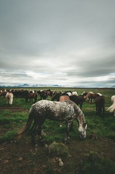 little old man by Chris Zielecki, via Flickr // dappled grey Iceandic grazing in herd
