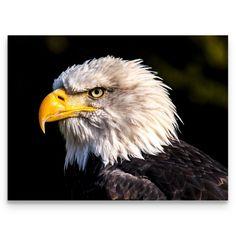 Colorado Watercolor Eagle 24x36 Gallery Quality Metal Art