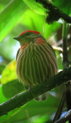 Male Western Striped Manakin (Machaeropterus striolatus). The Western Striped Manakin is a small species of bird in the Pipridae family. It is found in forests in western Brazil, northeastern Peru, eastern Ecuador, Colombia, and western and southern Venezuela.