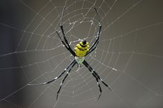 Nature's Art : a 5 in. Spider from South America