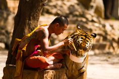 Monk and Tiger sharing their meal. - Visiting the Tiger Temple in Kanchanaburi Thailand, I found this lovely theme, a monk and a tiger sharing their food. Please note my name and the origin of the photo, if you redistribute my work. Beautiful Creatures, Animals Beautiful, Cute Animals, Wild Animals, Beautiful Cats, Beautiful Images, Beautiful People, Tiger Temple, Grand Chat