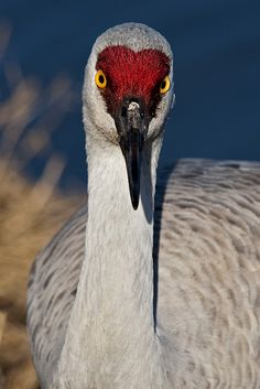 Sandhill crane. They live up here in the wild, thru the car window.