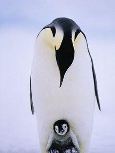 Pingwin, pingwiny, portal.dobresciagi.pl, DinoAnimals.pl