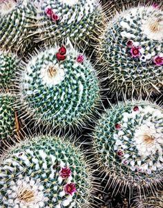 © Shirley Drevich 2012 – 'Cacti' – Apps Used – Bracket Mode, True HDR, Moku Hanga, Snapseed, Filterstorm, Blender