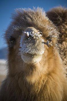 Bactrian Camel . Mongolia