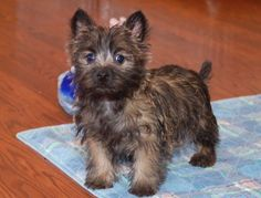 Cairn Terrier Akc Puppies (toto Wizard Of Oz Puppies ) in Buffalo . Cairn Terrier Puppies, Rat Terriers, Norwich Terrier, West Highland Terrier, I Love Dogs, Cute Dogs, Dog Rules, Scottish Terrier, Training Your Dog