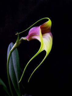 Masdevallia reichembachiana, Orchid.. It is a beautiful orchid with large blooming, it is still possible to find many plants in some secondary forests around Cartago.. | Photography & Posted by: Daniel-CR | Flickr.