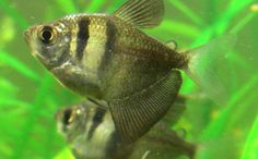 black-skirt-tetra Neon Tetra Fish, Freshwater Fish, Tropical Fish, At Least, Skirts, Community, Black, Black People, Skirt