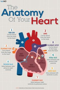 Amazing Remedies Your heart is an amazing organ that beats times per day. - The human heart is an amazing organ. Learn how it works to pump blood throughout the human body using electrical signals from the brain from the experts at WebMD. Life Hacks For School, School Study Tips, The Human Body, Human Body Organs, Nursing School Notes, Medical School, Pharmacy School, Heart Anatomy, Biology Lessons