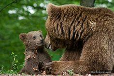 Mama bear and cub Baby Wild Animals, Cute Animals, Beautiful Creatures, Animals Beautiful, Love Bear, Bear Cubs, Grizzly Bears, Baby Bears, Polar Bears