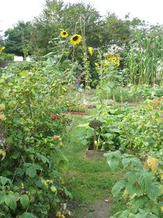 potager..(I love the sunflowers and grass paths