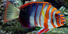 Harlequin Tusk. One of my all time favorite saltwater fish.