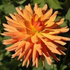 "TROPIC SUN (BBSC) Introduced in 1998. Think tropical! These 5"" blooms are a very pleasing shade of soft orange. An excellent arranging variety that has excellent long stems for cutting. 5 1/2' bush has dark stems making the green foliage and flowers stand out. Recommended as a cut flower."