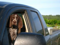 Bode…short for Bodeguera, which means Cellar Worker in Spanish...the Turkovich Family Wines Dog!