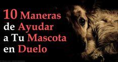 Signos de pena en una mascota incluyen cambios en sus hábitos alimenticios o de sueño, letargo, dependencia y la repetida búsqueda de la mascota que ha muerto. http://mascotas.mercola.com/sitios/mascotas/archivo/2015/09/19/como-ayudar-mascota-en-duelo.aspx