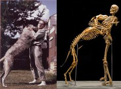 Grover Krantz donated his body, and that of his wolfhound (after his natural death) to science. Here's what became of them. <3