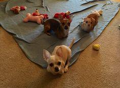 TurboRoo and his 2 Legged posse (Kanga and Roo) Baby Chihuahua, Dog Items, Chihuahuas, Kangaroo, Dog Cat, Corgi, Cute Animals, Wildlife, Kids Rugs