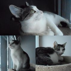 A second chance needed for BINDI ~ Available for cat adoption in #Montreal <3 Visit and spread the love www.facebook.com/cause4paws