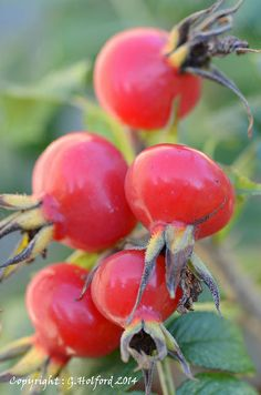 Rose Hips—Such beautiful color and if grown organically, makes great tea…
