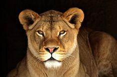 Lioness   Flickr - Photo Sharing!