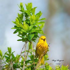 Animal Photography : Singing Yellow Warbler by raypregent #animals #wildlife pic.twitter.com/NKwdipSY4A