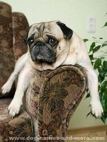 Pooped out Pug