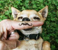 Chihuahua dog mustache #funny #cute #pets #dogs #animals