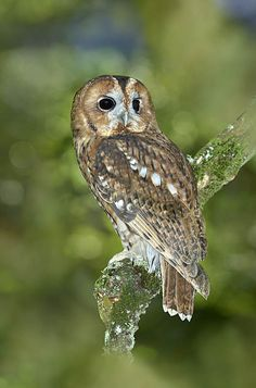 Copyright Paul Sterry/Nature Photographers Ltd Strix Aluco, Nature Photographers, Tawny Owl, Photography Competitions, Best Portraits, Image Types, Wildlife Photography, Beautiful Birds, Owls