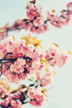 amo los cerezos en flor!