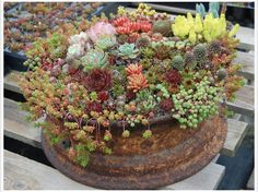 Succulents in an old wheel