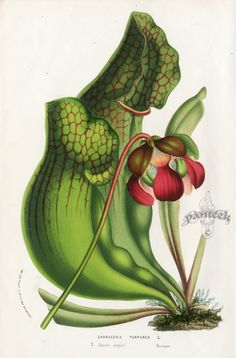 Carnivorous Plant Prints by Curtis Vietz Van Houtte and Edwards