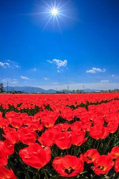 Tulip, Niigata, Japan