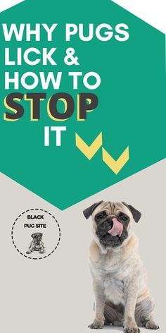 Excessive Pug licking is due to behavioral problems. Find out how to stop the dog licking...
